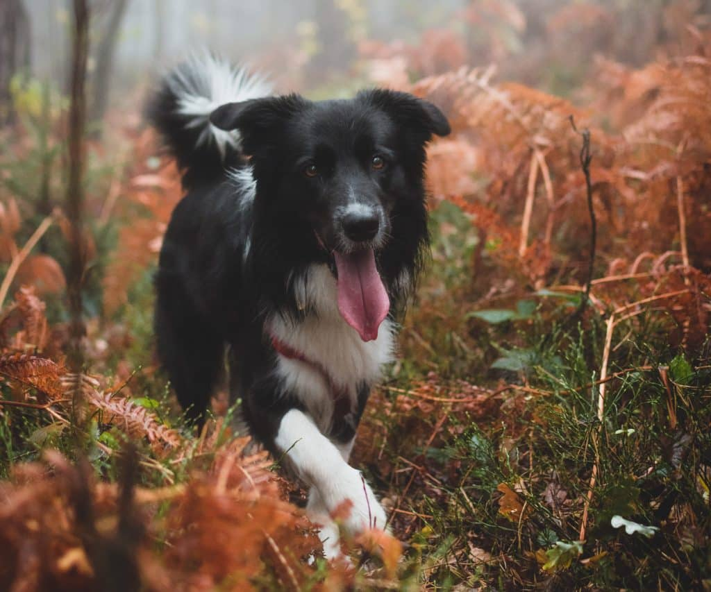Best dog food for border collies.