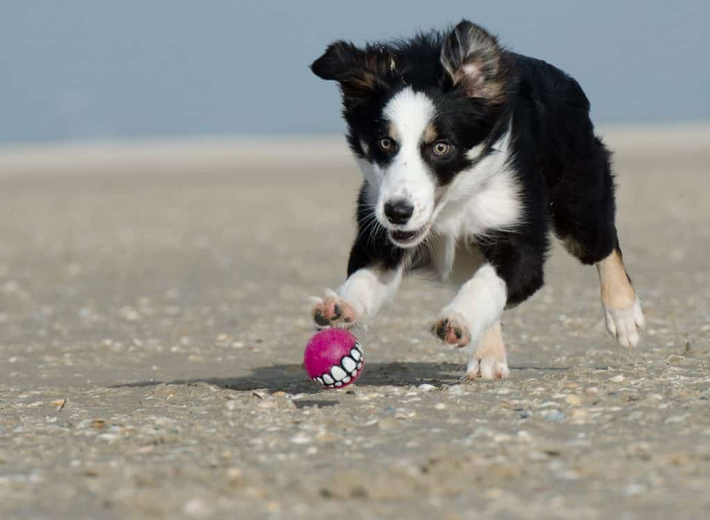 10 things to know about adopting a Border Collie.