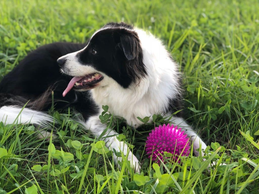Advice for adopting a Border Collie.