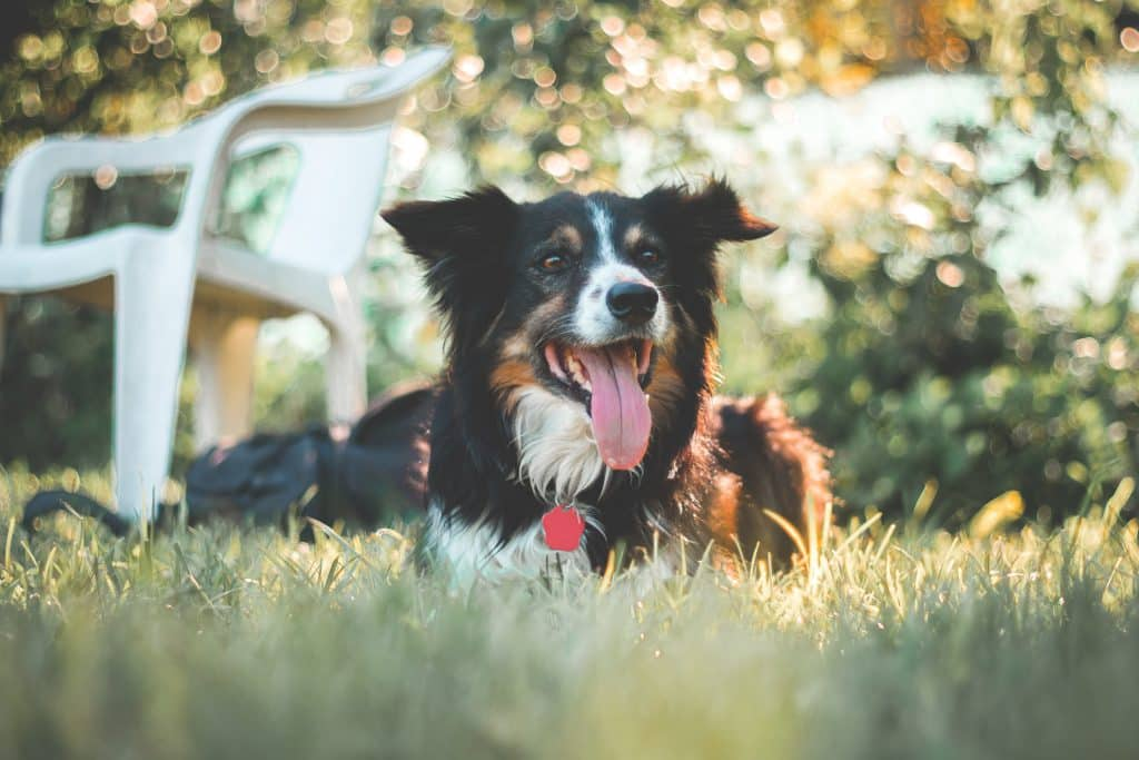 Border Collie health concerns to watch for.