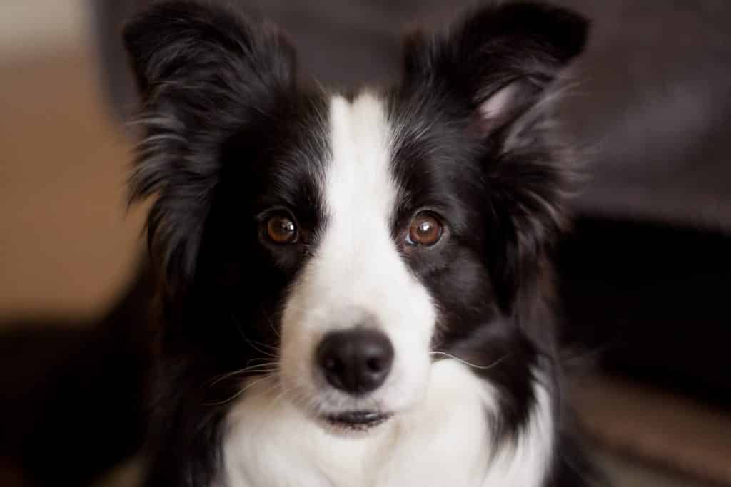 Facts about Border Collies intelligence.