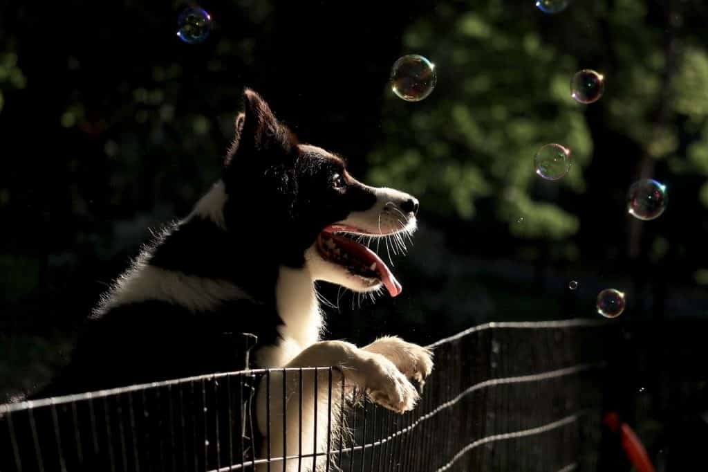 Know these things before adopting a Border Collie.