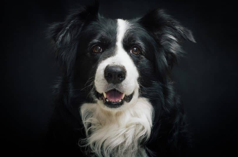 Things you need to know before adopting a Border Collie.