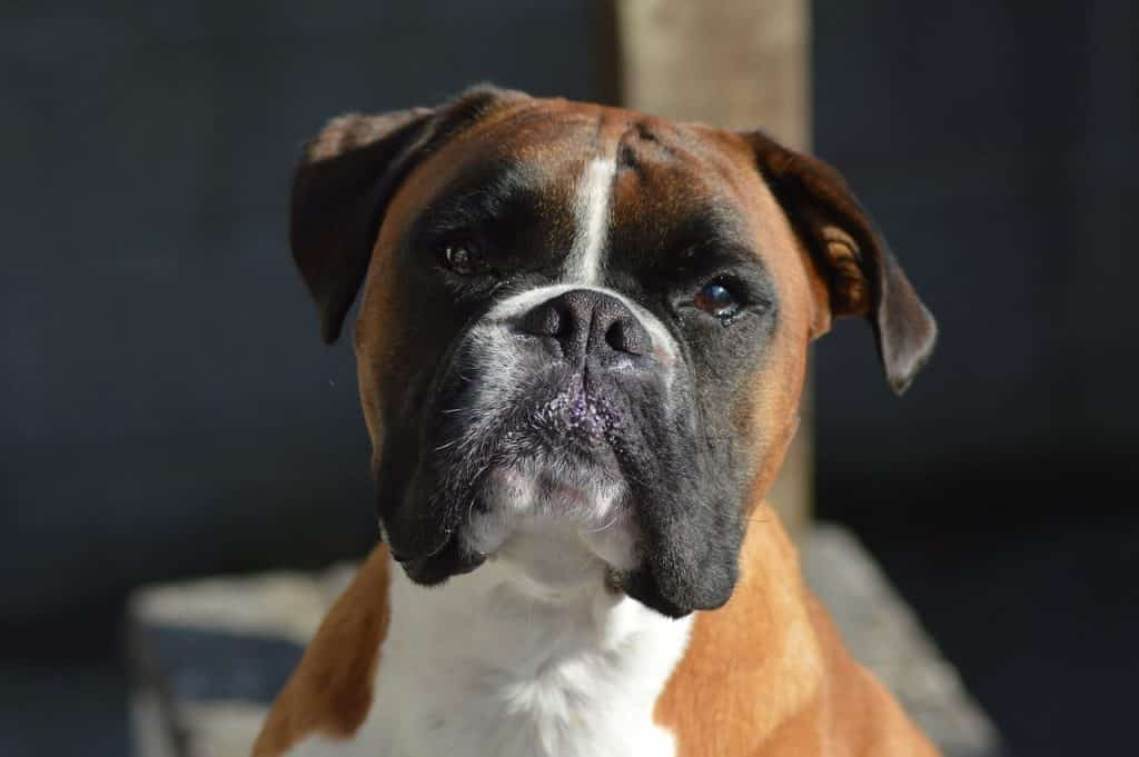 Information on Boxer personality.