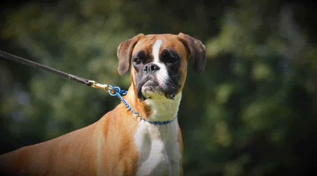 Boxer characteristics you should know.