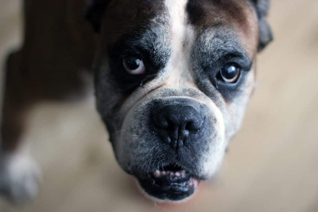 What to look for with Boxer health problems.