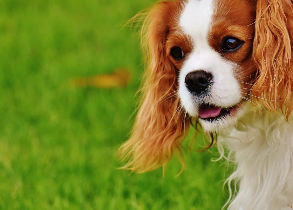 Small breeds that make the perfect lap dog.