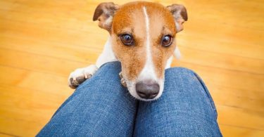 The top breeds of lap dogs.