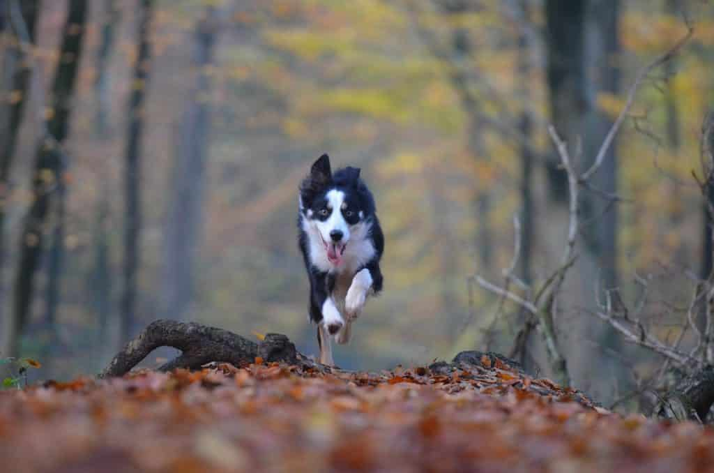 Fast dog breed running in woods.