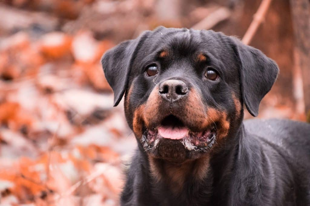 Picture of a loyal Rottweiler