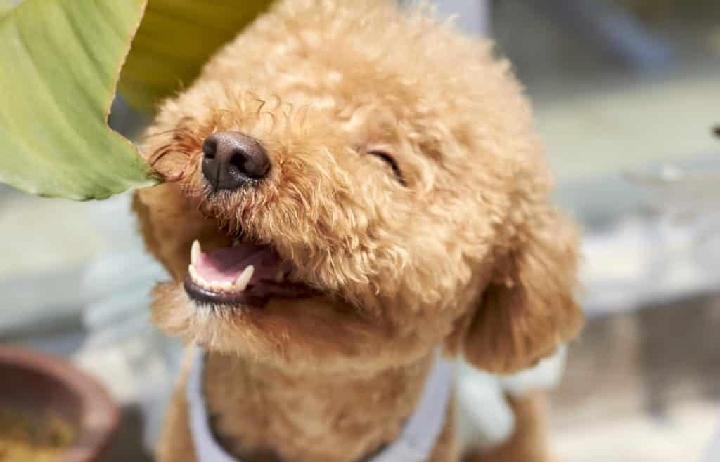 A happy Poodle smiling