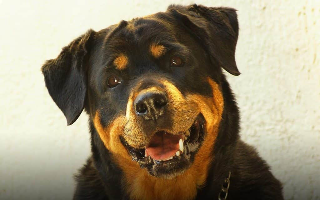 One of the best guard dog breeds.