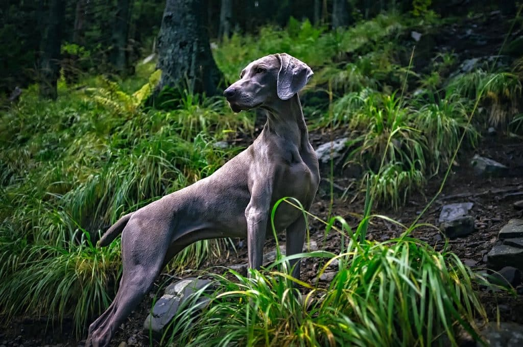 A beautiful image of a fast dog breed.