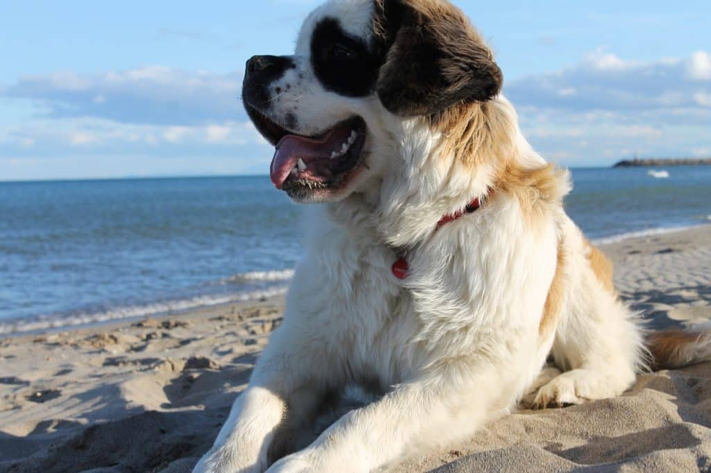 A dog breed well known for shedding.